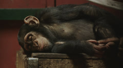 Sleeping male infant ape 4K - stock footage
