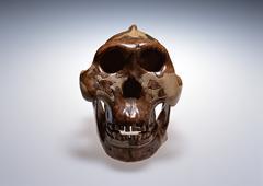 Skull Model Stock Photos