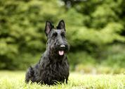 Stock Photo of Scottish Terrier