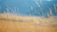 Stock Video Footage of Yellow grass swaying on the wind, tracking shot
