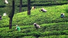 Female workers picking tea leaves. Sri Lanka. Stock Footage