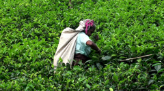 Female workers picking tea leaves. Sri Lanka. - stock footage
