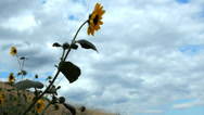 Stock Video Footage of Sunflower yellow flower swaying in the breeze at Redrocks park Colorado