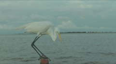 Stock Video Footage of Amazon wildlife shows crane bird up close interacting with fish