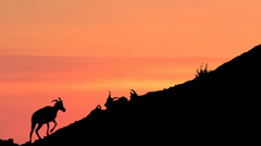 Silhouette Bighorn Sheep Climbing Mountain Wilderness Under Sunset Sky Wyoming Stock Footage