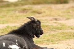 black male goat - stock photo