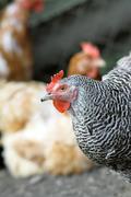 Hen in the farmyard Stock Photos