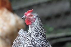 Striped hen in the farmyard Stock Photos