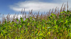 Cornfield stalks swaying in the breeze Stock Footage