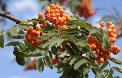 ashberry - stock photo