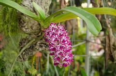 Rhynchostylis gigantea wild orchid in Thailand - stock photo