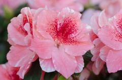 Pink azalea blossoms Stock Photos