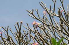 Stock Photo of pink frangipani on tree