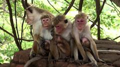 Wild macaques breastfeed babies Stock Footage