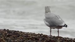 Seagulls in Denmark slomo 3 Stock Footage
