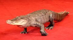 Reptile a crocodile Stock Photos