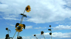 Blooming sunflowers on a windy cloudy day with clouds and blue sky slow motion  - stock footage