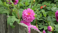 Stock Video Footage of dahlia flowers growing in garden