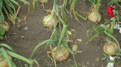 Onions growing in allotment Stock Footage