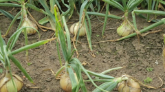 Rows of vegetables, onions, cabbages, growing in an allotment Stock Footage