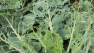 Stock Video Footage of cabbages with cabbage white caterpillar damage to leaves