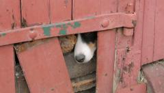 Dog looks out of hole in door Stock Footage