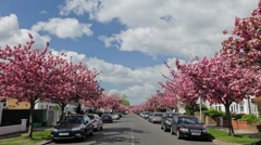 Cheery blossom trees, Chiswick Stock Footage