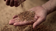 0052 Adult man hands holding wheat grains Stock Footage