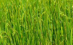 Paddy rice field,  nature background Stock Photos
