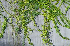 Ivy green on wall for decorate Stock Photos