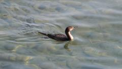 Great Black Cormorant searching for fish in water, Phalacrocorax carbo Stock Footage