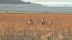 Mule Deer Stock Footage