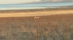 Mule Deer in the tall Grass Stock Footage