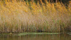 Yellow reeds swaying on the lake - stock footage