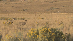 Mule Deer Doe and Fawn Stock Footage