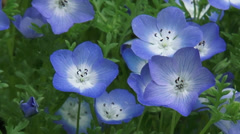 Baby blue eyes ( Nemophila menziesii ) in bloom - high angle close up + zoom out Stock Footage