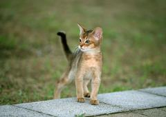 Abyssinian - stock photo