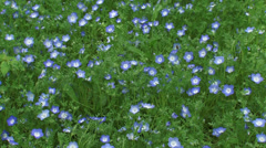 Carpet of Baby blue eyes ( Nemophila menziesii ) in bloom - high angle Stock Footage