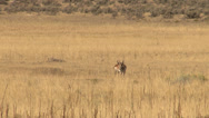 Stock Video Footage of Pronghorn Antelope