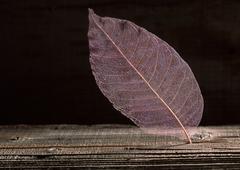 Skeleton Leaf Stock Photos