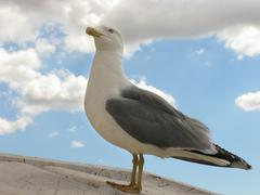 Stock Photo of a proud seagull with blue eyes photographed in rome, italy
