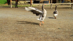 Goose Stock Footage