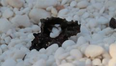 Hermit crab grabbing marble rock, Pagurus bernhardus Stock Footage