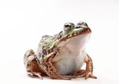 Frog Stock Photos