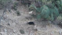 Two goats on cliff, Capra aegagrus hircus Stock Footage
