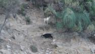 Stock Video Footage of Two goats on cliff, Capra aegagrus hircus