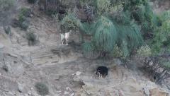 Goats eating, Capra aegagrus hircus Stock Footage