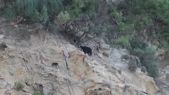 Goat on cliff, Capra aegagrus hircus Stock Footage