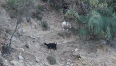 Goats on cliff, Capra aegagrus hircus Stock Footage