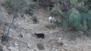 Stock Video Footage of Goats on cliff, Capra aegagrus hircus
